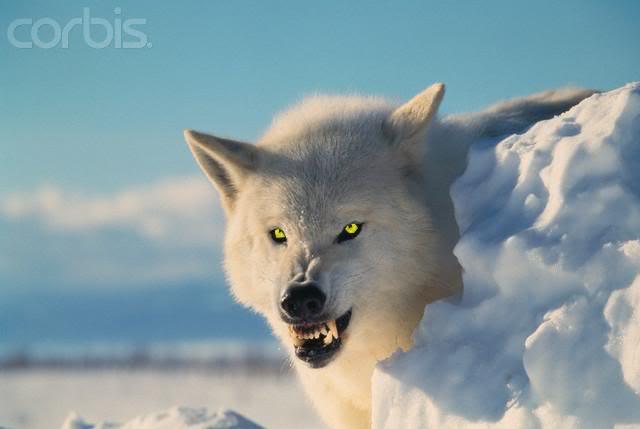 jj公社--西北狼族